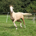 Beautiful palomino horse running on pasturage in autumn Stock Image