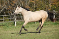 Beautiful palomino horse running on pasturage kinsky in autumn Royalty Free Stock Photography