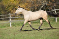 Beautiful palomino horse running on pasturage kinsky in autumn Royalty Free Stock Photos