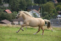 Beautiful palomino mare wunning on pasturage welsh cob Stock Photos