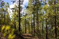 Beautiful panorama of pine forest with sunny summer day. Coniferous trees. Sustainable ecosystem. Tenerife, Teide Royalty Free Stock Photo