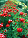 Beautiful park full of red roses Royalty Free Stock Photo