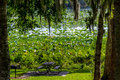 A beautiful park picnic area with trees spanish moss blooming yellow lotus water lily pad flowers and other water plants nelumbo Stock Photography