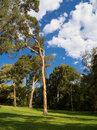 Beautiful parkland eucalyptus trees in green with cloudy blue sky Royalty Free Stock Photos