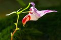 Beautiful parrot flower in forest Thailand. Royalty Free Stock Photo