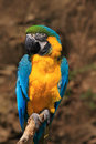 Beautiful parrot. Portrait of blue-and-yellow macaw, Ara ararauna, also known as the blue-and-gold macaw, is a large South America Royalty Free Stock Photo