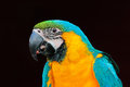 Beautiful parrot. Portrait of blue-and-yellow macaw, Ara ararauna, detail portrait of macaw, large South American parrot with blue Royalty Free Stock Photo