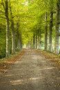 Beautiful path with trees running through a tree alley sunlit Stock Photo