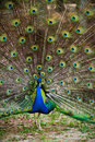 Beautiful peacock dancing camera outdoor Royalty Free Stock Photo