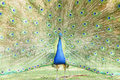 Beautiful peacock displaying his beautiful fan Royalty Free Stock Photo