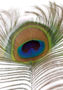 Beautiful peacock feather Stock Photo
