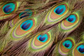 Beautiful peacock feathers Stock Image