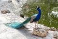 A beautiful peacock in Reina Sofia Park, Guardamar del Segura. Spain. Royalty Free Stock Photo