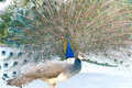 Beautiful peacock showing its fan Royalty Free Stock Photo