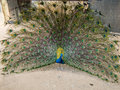 A Beautiful Peacock Spreads It...