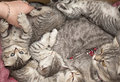 Beautiful pedigreed cat and her kittens with for sale at the fair Stock Images