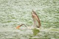 The beautiful Pelican catching the fish Royalty Free Stock Photo