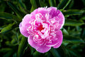 Beautiful peony flower Royalty Free Stock Photo