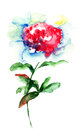 Beautiful peony flower watercolor painting Stock Image