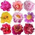 Beautiful peony flowers set