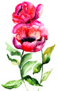 Beautiful peony flowers watercolor painting Stock Photos