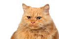 Beautiful persian cat Stock Photography
