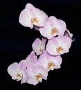 Beautiful Phalaenopsis orchid flower on black background Royalty Free Stock Photo