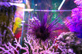 Beautiful photograph of one purple sea urchin on coral reef in the Lisbon Oceanarium, Portugal. Royalty Free Stock Photo