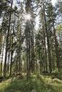 Beautiful Pine Forest In Högbo Bruk