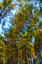 stock image of  Beautiful pine forest in Yogyakarta