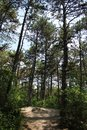 Beautiful pinetree forest Royalty Free Stock Photo