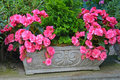 Beautiful pink begonias in stone flower planter Stock Image