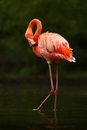 Beautiful pink big bird Caribbean Flamingo, Phoenicopterus ruber, cleaning plumage in dark green water, with evening sun, reed in Royalty Free Stock Photo