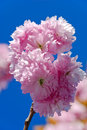 Beautiful pink blossom blue sky background flowering fruit tree center prague Stock Image