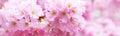 Beautiful pink cherry blossom branch, Sakura flowers on white