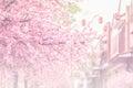 Beautiful pink cherry blossom (Sakura) flower, and soft focus pr