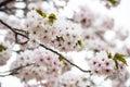 Beautiful pink cherry blossom sakura japan in japan Stock Photos