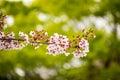 Beautiful pink cherry blossom sakura japan in japan Stock Photography