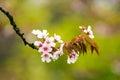 Beautiful pink cherry blossom sakura japan in japan Royalty Free Stock Photo