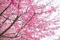 Beautiful pink cherry blossom.Vivid color of Cherry Blossom or p