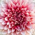 Beautiful pink chrysanthemum flower close up Stock Photo