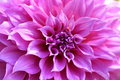 Beautiful pink chrysanthemum flower closeup, Chiang Mai, Thailan Royalty Free Stock Photo