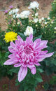 Beautiful pink chrysanthemum.