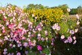 The beautiful pink coreopsis flowers and yellow flowers