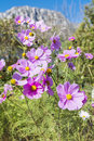 Beautiful Pink Cosmos flowers outdoor Royalty Free Stock Photo