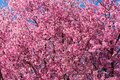 Beautiful Pink Crabapple Tree Background at Rainey Park in Astoria Queens New York during Spring Royalty Free Stock Photo