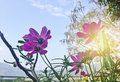 Beautiful pink daisy cosmos flower on blue sky background Royalty Free Stock Photo
