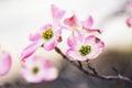 Beautiful Pink Dogwood Tree Flower Bloom Royalty Free Stock Photo