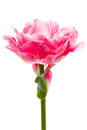 Beautiful pink double peony tulip on white Royalty Free Stock Photos