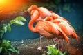 Beautiful pink flamingo standing at water edge. Animal background